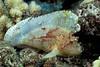 leaf scorpionfish, Taenianotus triacanthus, Hawaii, ( Central Pacific Ocean )
