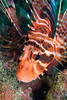 the Hawaiian lionfish, turkeyfish or nohu pinao (H), Pterois shpex, is becoming a rare sight to behold due to tropical fish collecting and predation by introduced species, specifically the argus or peacock grouper, Hawaii ( Central Pacific Ocean )