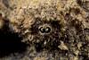 lappet over eye of devil scorpionfish, Scorpaenopsis diabolus, nohu 'omakaha (H) Hawaii ( Central Pacific Ocean )
