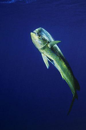 Mahi mahi, dorado or dolphinfish, Coryphaena hippurus, open ocean, Hawaii ( Central Pacific Ocean )<br /> 1