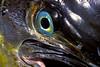 Mahi mahi, dorado or dolphinfish, Coryphaena hippurus, Mexico (Sea of Cortez)