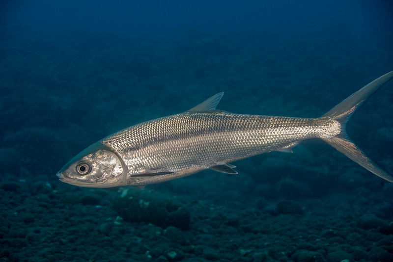 milkfish or awa (H), Chanos chanos, Keahole Point, Hawaii ( Central Pacific Ocean )