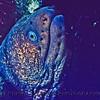 Gymnothorax mordax-CLOSE-Log 694-1980-06-Santa Barbara Isl-002