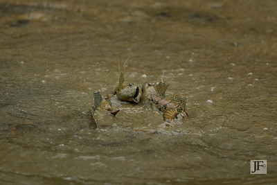Blue Spotted Mudskipper, Pulau Ubin