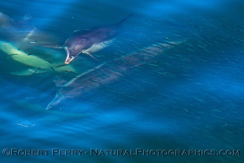 Engraulis mordax bait ball & Delphinus capensis 2014 03-16 SB Channel-055