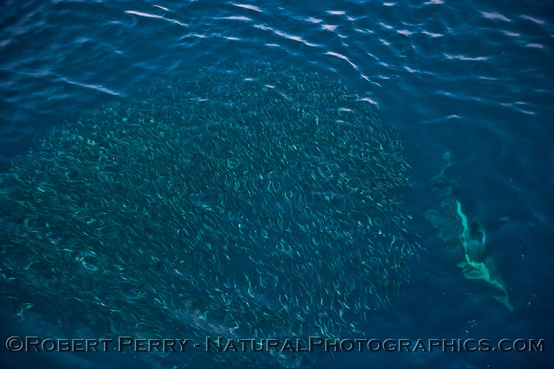 Delphinus capensis feeding on Engraulis mordax 2014 02-22 SB Channel--a-003