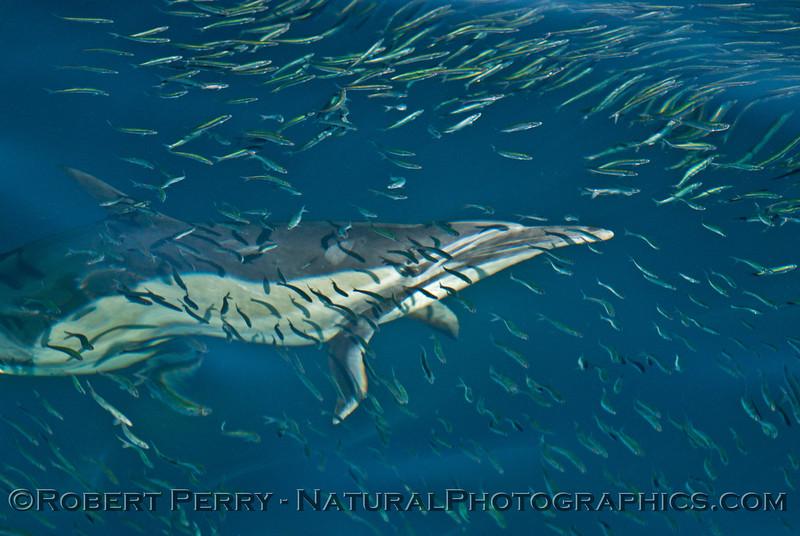 Delphinus capensis feeding Engraulis mordax CLOSE 2013 11-02 SB Channel East-127