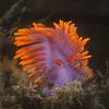 Flabellina iodinea nudibranch (Spanish Shawl)