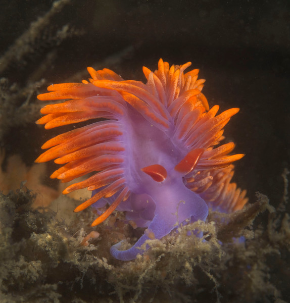 Flabellina iodinea nudibranch (Spanish Shawl)