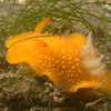 Acanthodoris lutea nudibranch