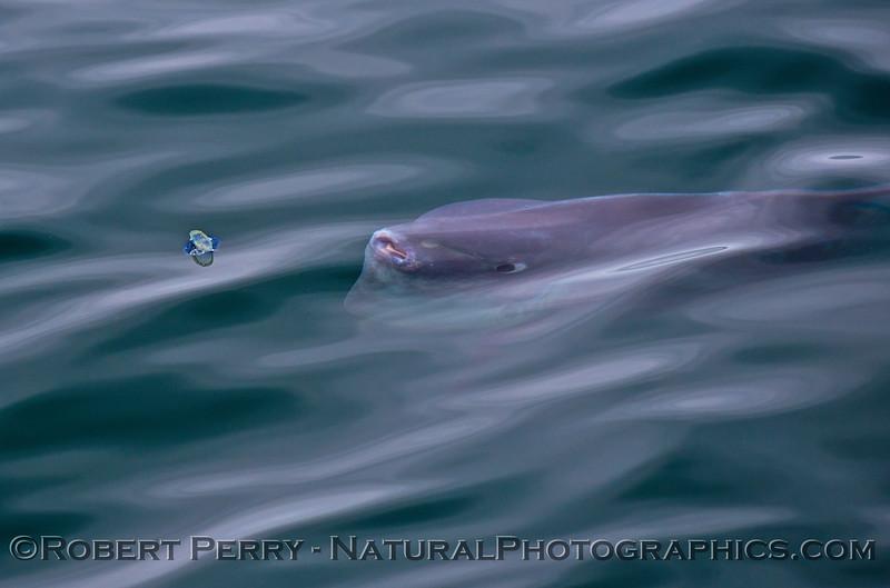 Mola mola feeding on Velella velella 2015 05-05 SB Coast-024