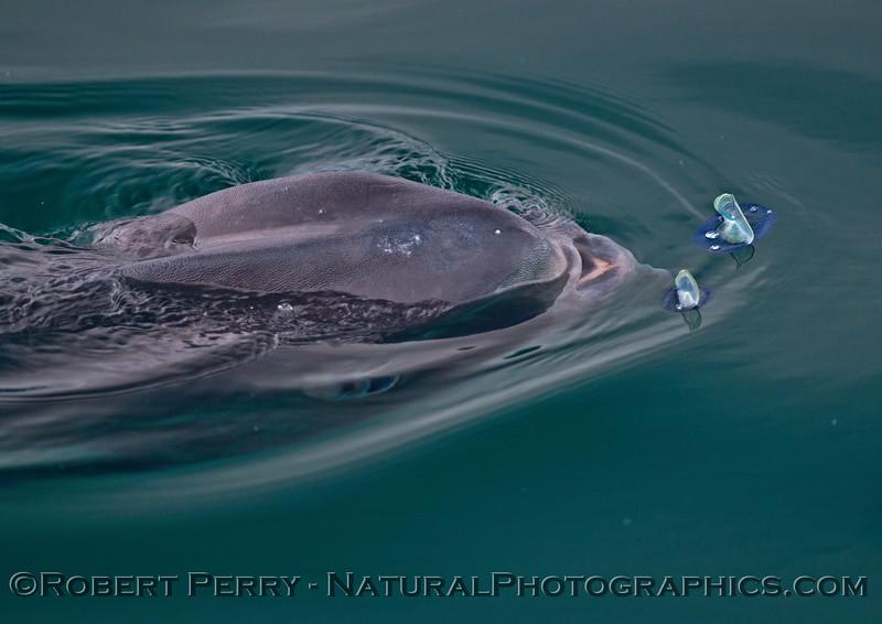 Mola mola feeding on Velella velella 2015 04-21 SB Coast-034