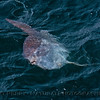 Mola mola on surface 2015 05-13 SB Channel-044