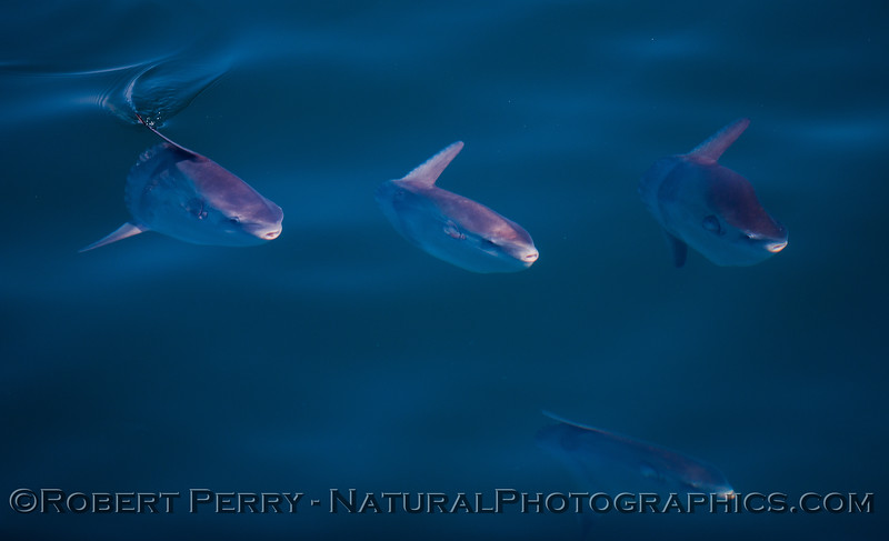 Mola-mola-MANY-juv-2012-06-26-SB-Channel-024