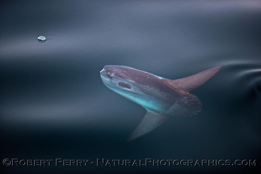 Mola mola feeding on Velella velella 2015 05-01 SB Coast-117