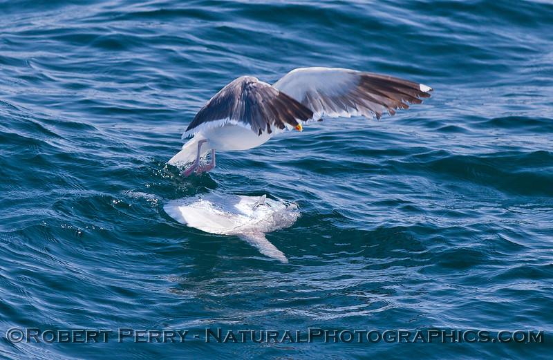 Mola mola & Larus occidentalis 2011 07-27 SB Channel  - 015