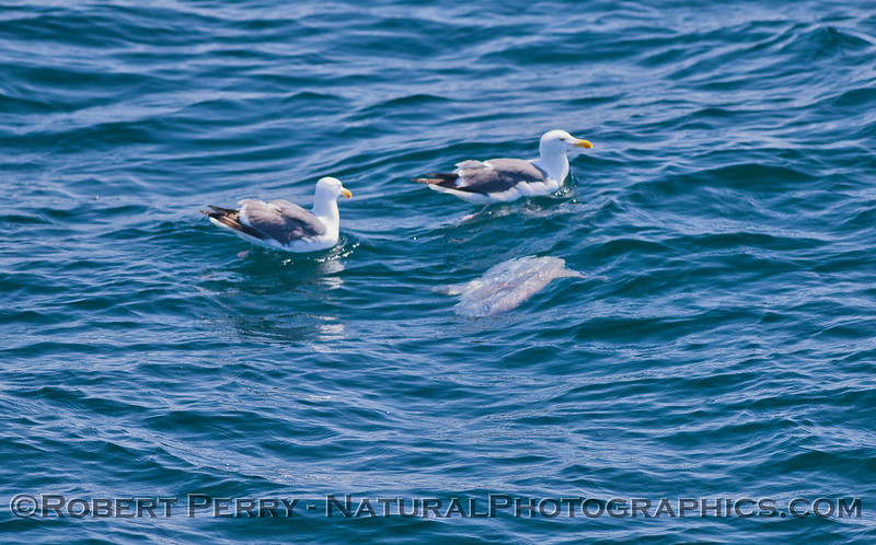 Mola mola & Larus occidentalis 2011 07-27 SB Channel  - 009