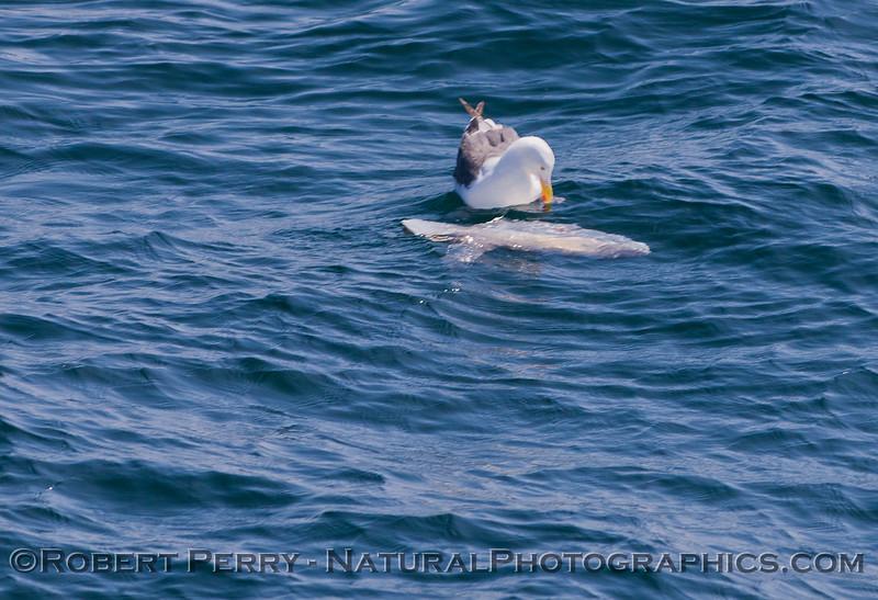 Mola mola & Larus occidentalis 2011 07-27 SB Channel  - 001