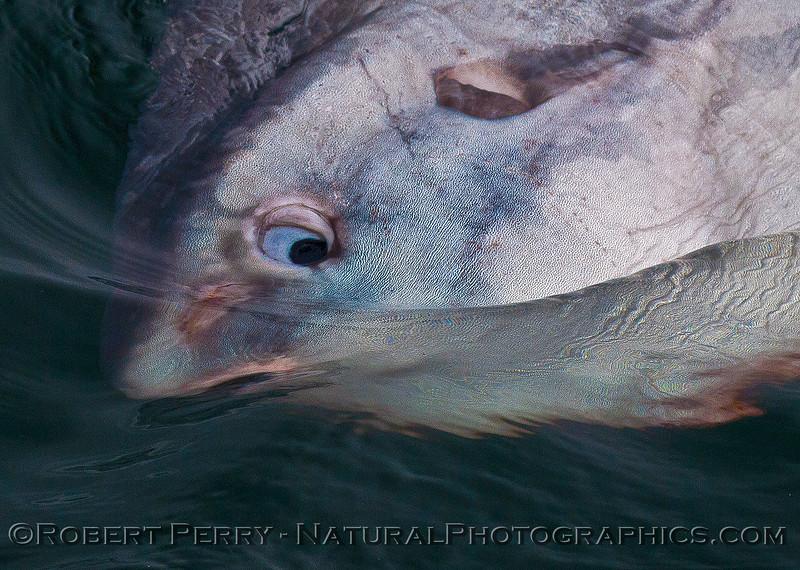 Mola mola head eyeball CLOSE 2016 06-06 SB Channel-101