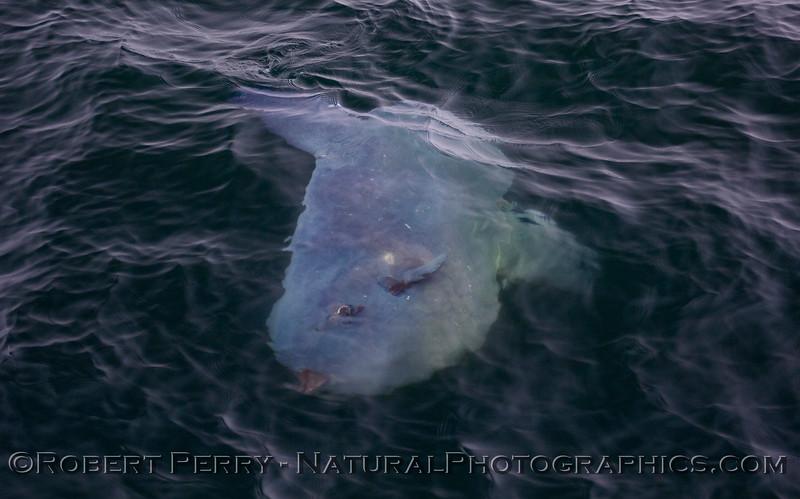 Mola mola big CLOSE 2011 04-19 Monterey Bay b - 026