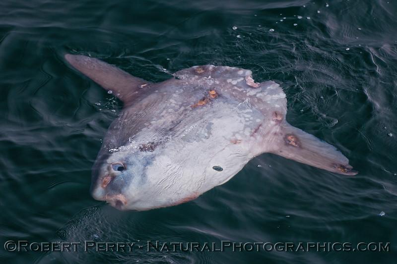 Mola mola & Velella velella 2016 06-06 SB Channel-100