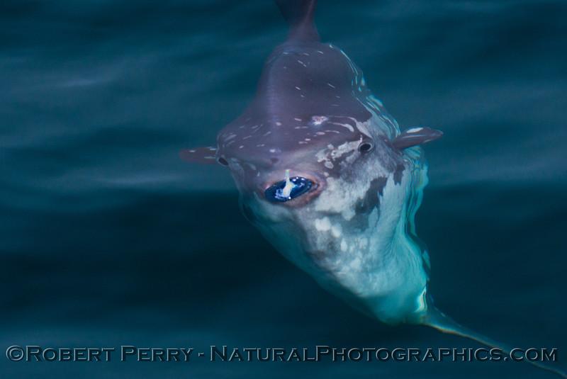Mola mola feeding on Velella velella 2014 08-22 SB Channel-b-012