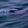 Mola mola feeding on Velella velella 2015 05-05 SB Coast-027