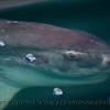 Mola mola feeding on Velella velella 2015 04-21 SB Coast-048