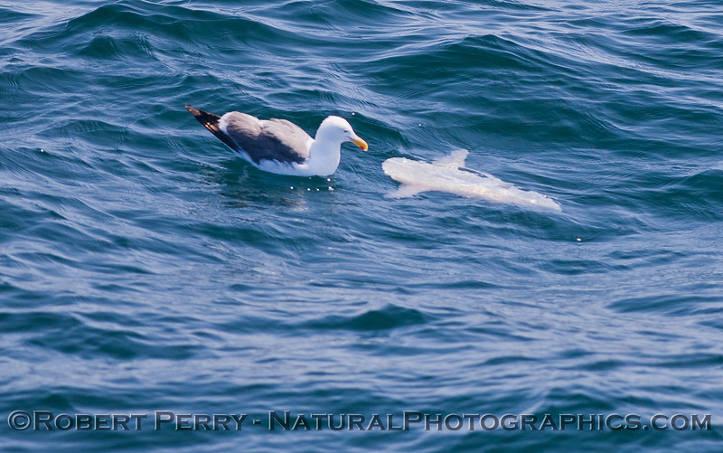 Mola mola & Larus occidentalis 2011 07-27 SB Channel  - 005