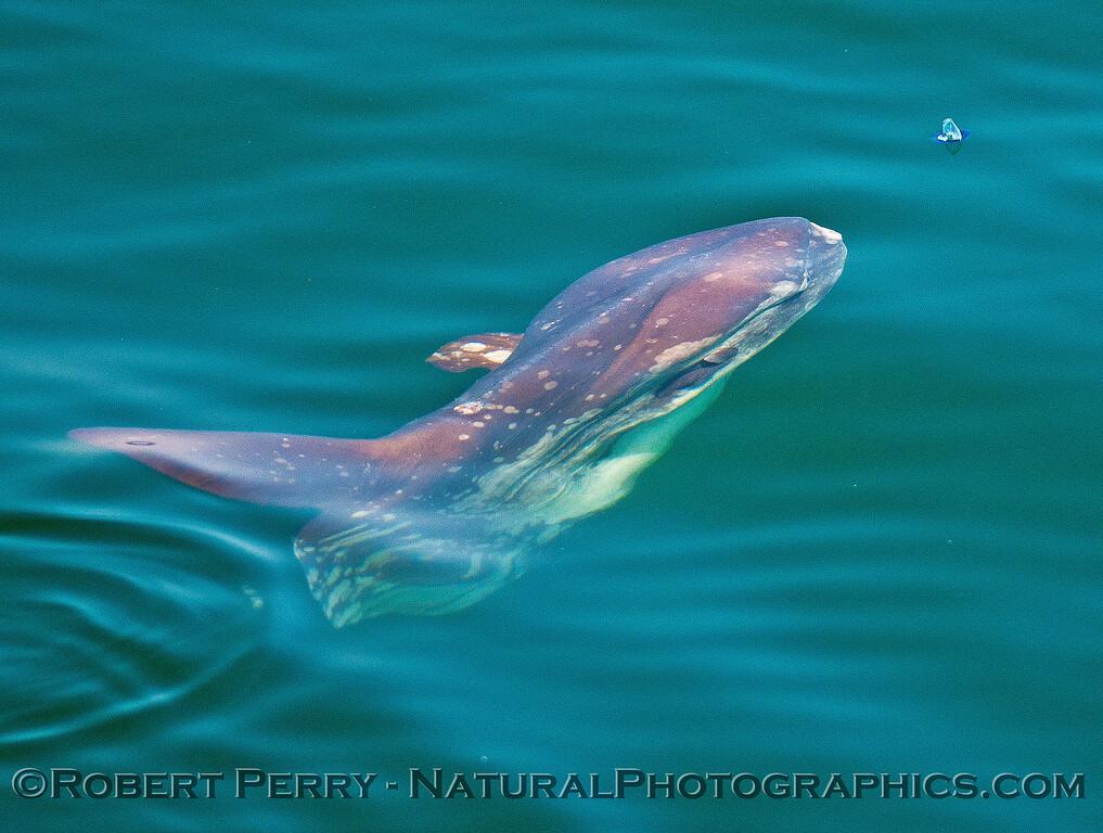 Mola mola feeding on Velella velella 2016 05-27 SB Channel-040