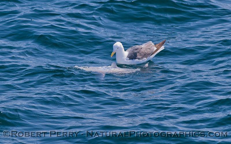 Mola mola & Larus occidentalis 2011 07-27 SB Channel  - 011