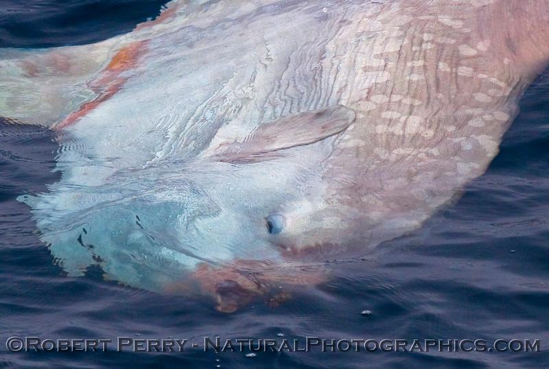 Mola mola - BIG 2009 09-12 SB Channel d - 023detail