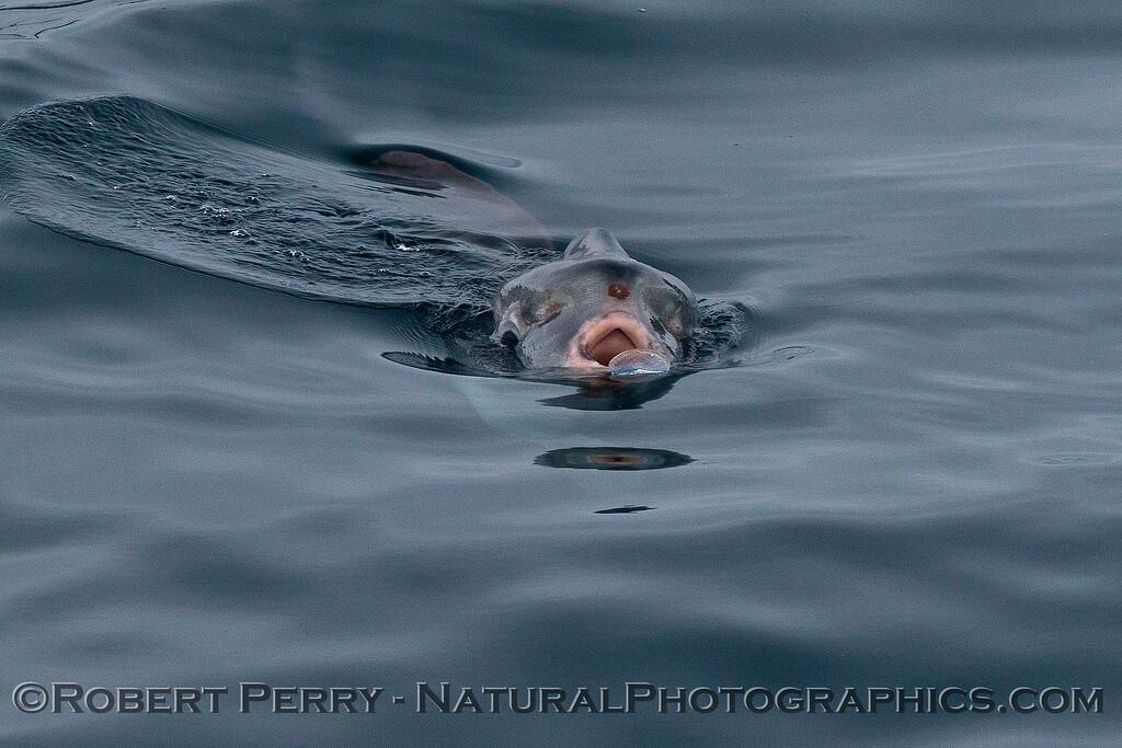 Mola mola feeding on Velella velella 2014 08-22 SB Channel-a-051