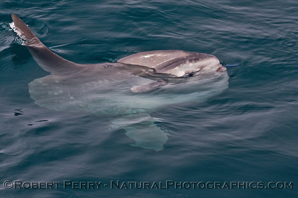 Mola mola feeding on Velella velella 2014 08-22 SB Channel-b-026