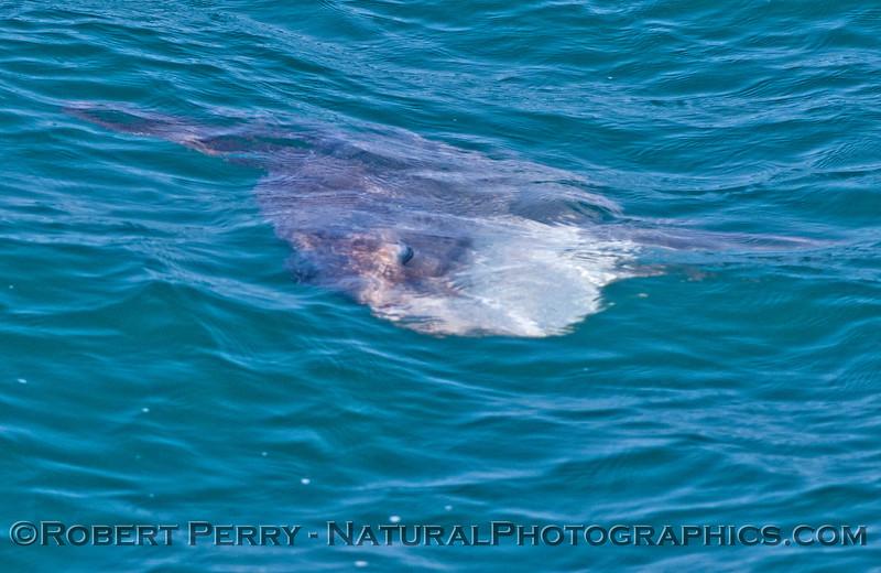 Mola mola 2013 07-19 SB Coast-a-016
