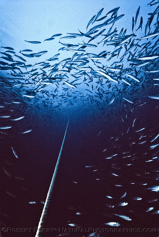 Ring around the anchor line - tunnel of mackerel