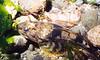 Pacific Staghorn Sculpin - ©Janna Nichols