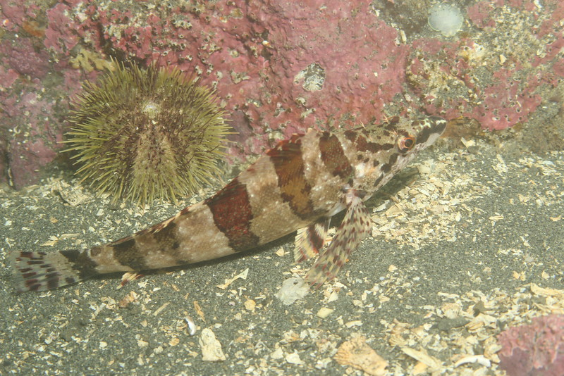 Painted Greenling, Oxylebius pictus