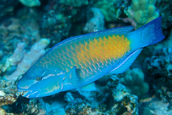 bullethead parrotfish, Chlorurus sordidus, terminal male, Kona, Hawaii ( Central Pacific Ocean )