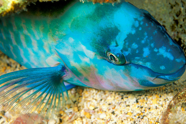regal parrotfish, Scarus dubius, asleep at night, Kona, Hawaii ( Central Pacific Ocean )