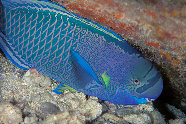 spectacled parrotfish sleeping, Chlorurus perspicillatus, terminal male phase, Kona, Hawaii ( Central Pacific Ocean )