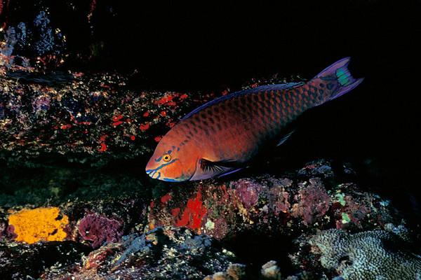 regal parrotfish, Scarus dubius, Kona, Hawaii ( Central Pacific Ocean )