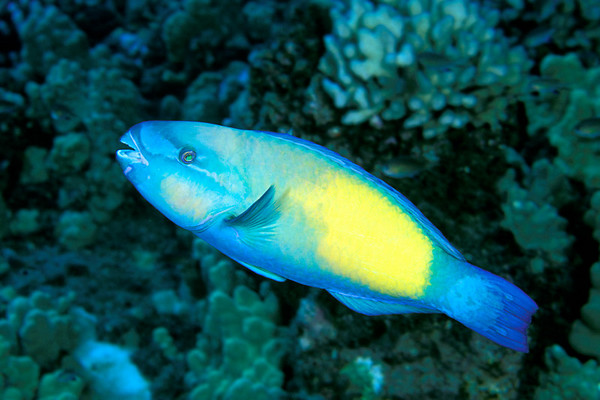 bullethead parrotfish, Chlorurus sordidus, Kona, Hawaii ( Central Pacific Ocean )
