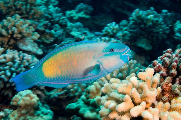 bullethead parrotfish or uhu, Chlorurus sordidus, Kona, Hawaii ( Central Pacific Ocean )