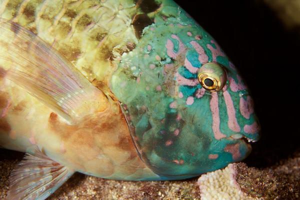 male stareye parrotfish, Calotomus carolinus sleeping, Kona, Hawaii ( Central Pacific Ocean )