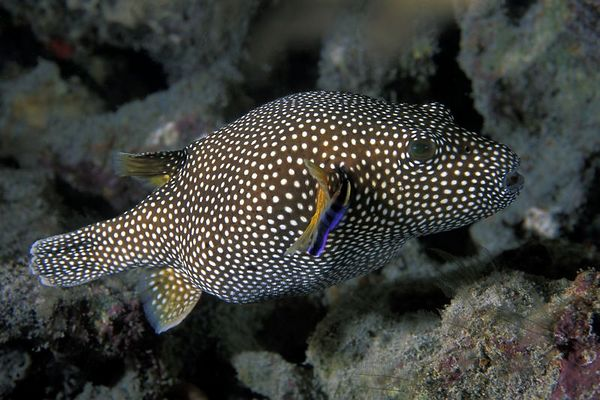 velcro puffer or guineafowl puffer, <br /> Arothron meleagris, is cleaned by Hawaiian <br /> cleaner wrasse, Labroides phthirophagus,<br /> Big Island of Hawaii ( Central Pacific Ocean )<br /> 1