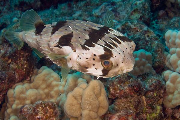 spiny ballonfish or kokala (H), Diodon holocanthus, Big Island of Hawaii ( Central Pacific Ocean )