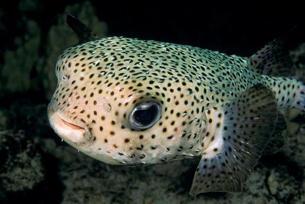 porcupinefish, porcupine puffer or kokala (H), Diodon hystrix, Big Island of Hawaii ( Central Pacific Ocean )