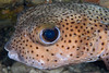 porcupinefish, porcupine puffer or kokala (H), Diodon hystrix, Big Island of Hawaii ( Central Pacific Ocean )