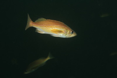 Redstripe Rockfish, Sebastes proriger